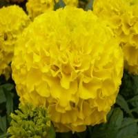 Тагетес прямостоячий Антигуа (Бархотки) (Antigua Primrose) желтый