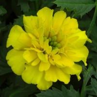 Тагетес откл-ный махровый (Бархотки) (Bonanza Yellow) лимонный