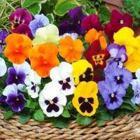 Виола Колосус (Colossus Mix) смесь расцветок