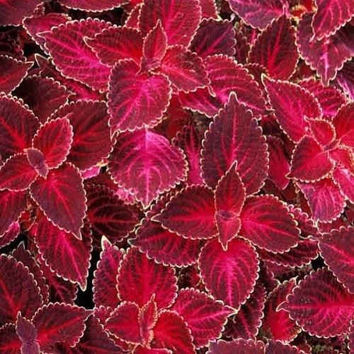 Колеус Блюм Визард Велвет Ред (Blumel Wizard Velvet Red) красный